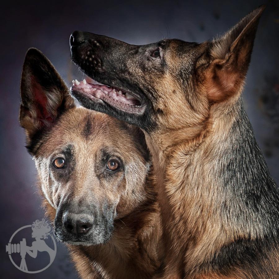 German-Shepherd-Dog-Melissa-Laggis-1.jpg