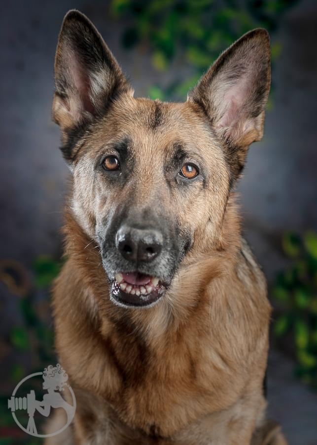 German-Shepherd-Dog-Melissa-Laggis-3.jpg
