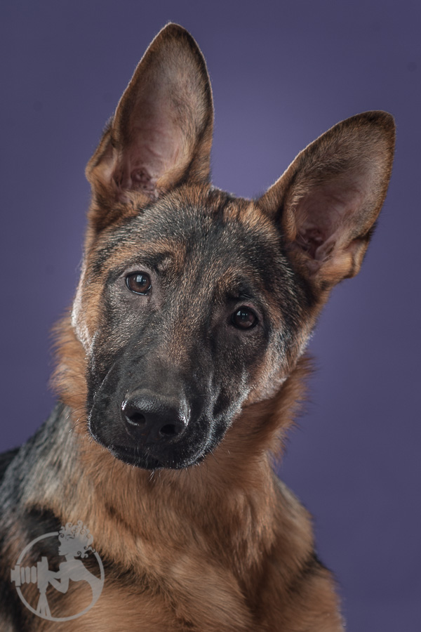 German-Shepherd-Dog-Melissa-Laggis-4.jpg