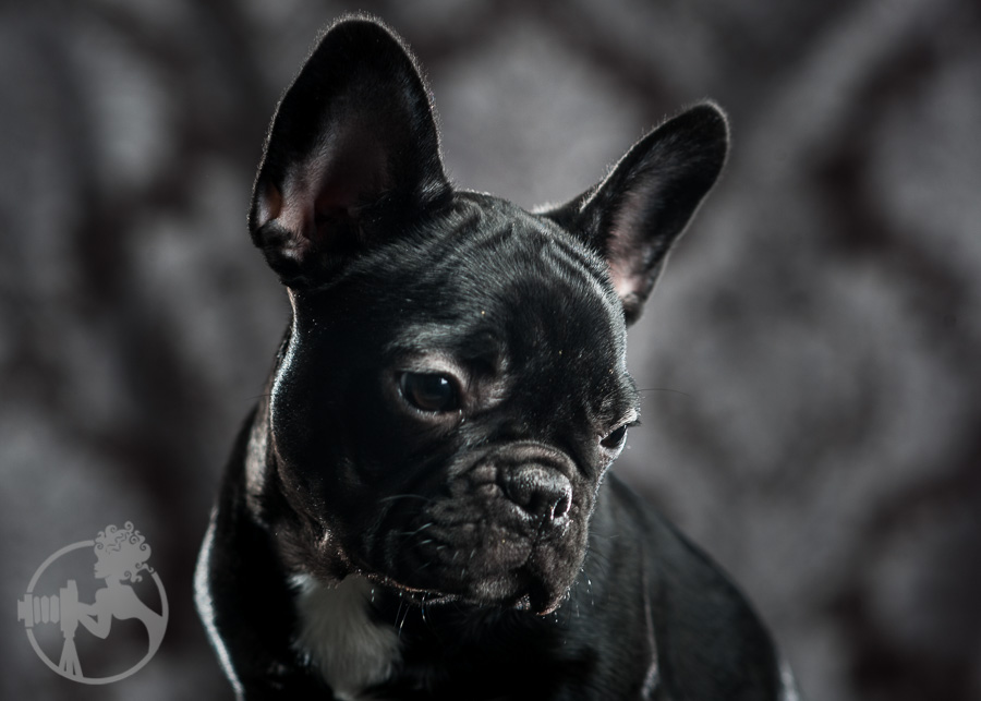 French-Bulldog-Dog-Melissa-Laggis-4.jpg