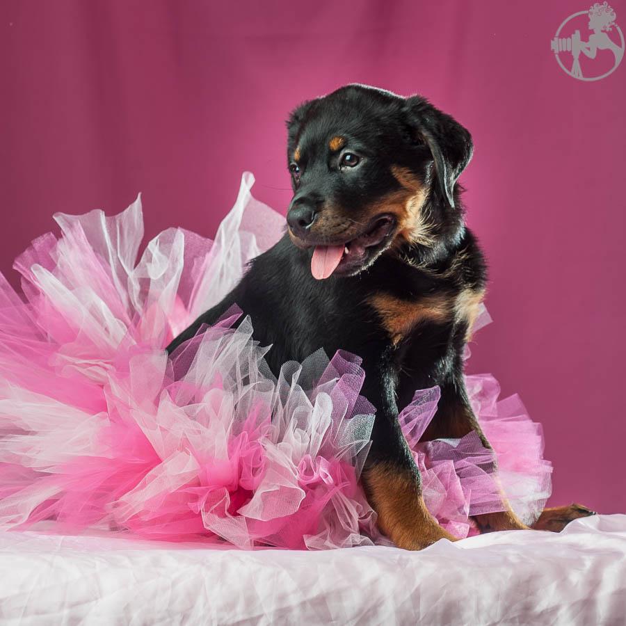 Rochin-Rottweiler-Puppy-Dog-Portraits-Melissa-Laggis-Photography-1.jpg
