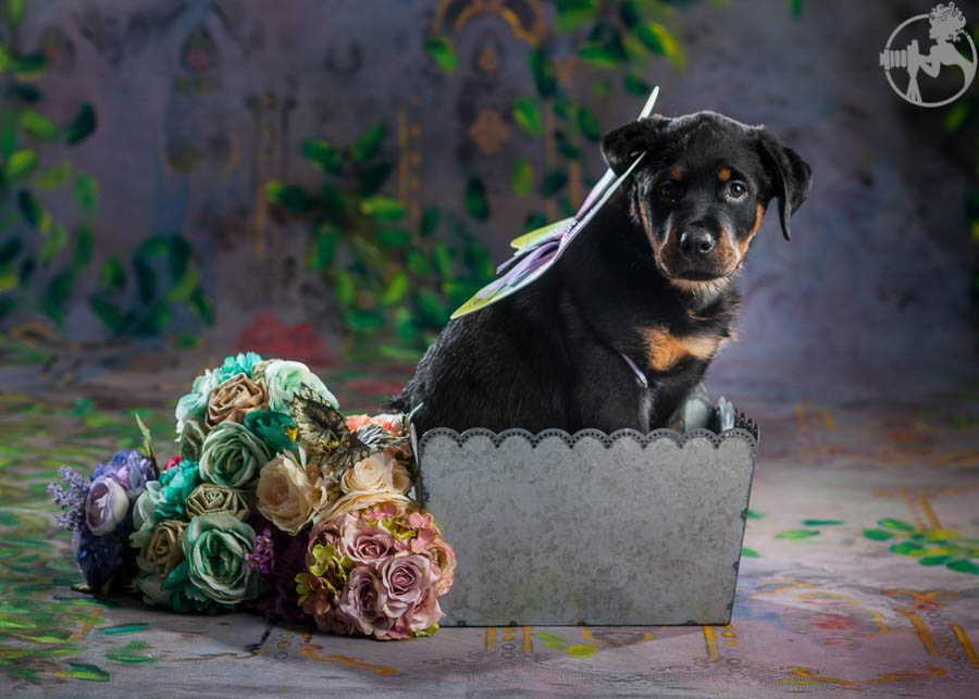 Rochin-Rottweiler-Puppy-Dog-Portraits-Melissa-Laggis-Photography-3.jpg