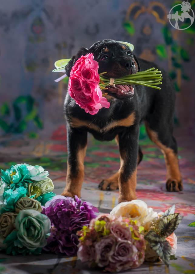 Rochin-Rottweiler-Puppy-Dog-Portraits-Melissa-Laggis-Photography-4.jpg