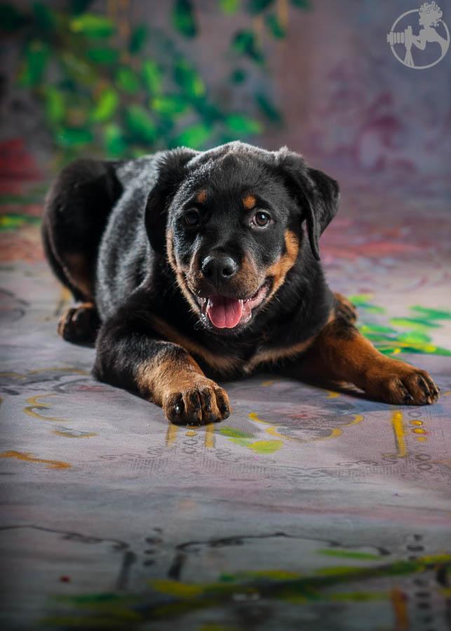 Rochin-Rottweiler-Puppy-Dog-Portraits-Melissa-Laggis-Photography-5.jpg