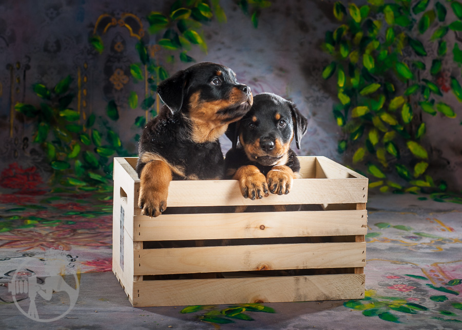 Rottweiler-Dog-Melissa-Laggis-2.jpg