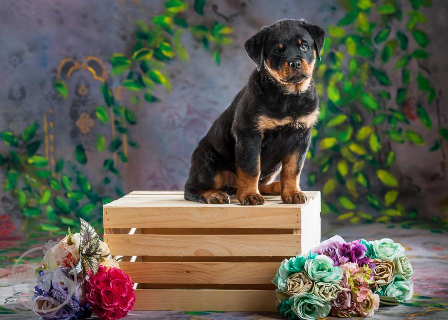 Rottweiler-Dog-Melissa-Laggis-1.jpg