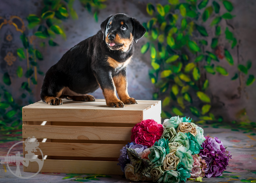 Rottweiler-Dog-Melissa-Laggis-3.jpg