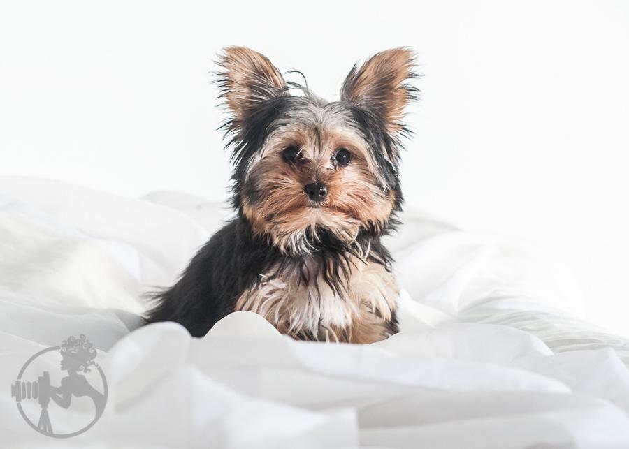 Yorkshire-Terrier-Dog-Melissa-Laggis-4.jpg