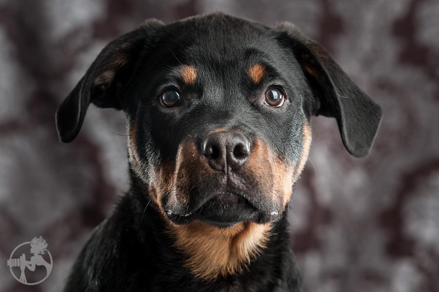 Merrill-Rottweiler-Puppy-Melissa-Laggis-Photograph-1.jpg