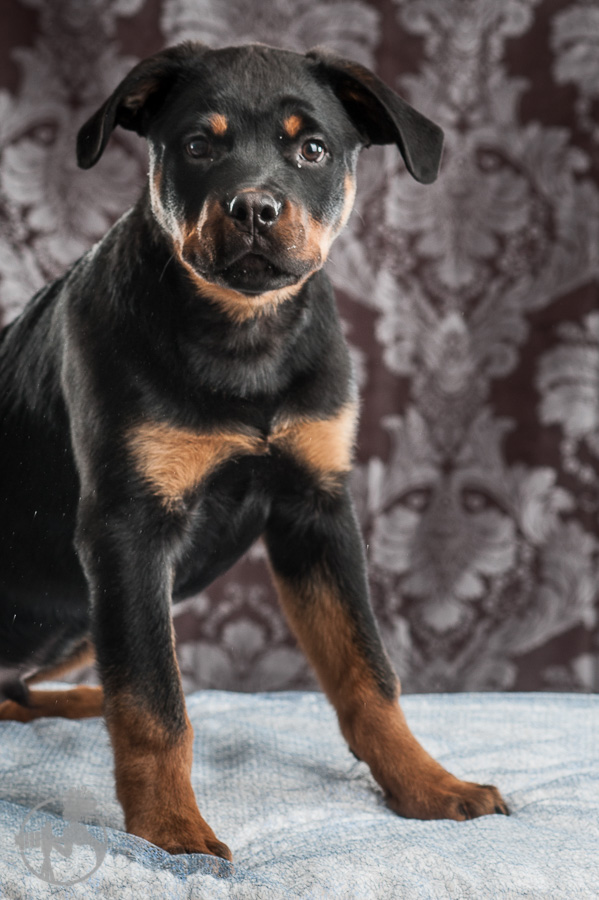 Merrill-Rottweiler-Puppy-Melissa-Laggis-Photograph-5.jpg