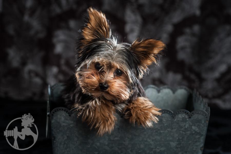 Yorkshire-Terrier-Dog-Melissa-Laggis-1.jpg