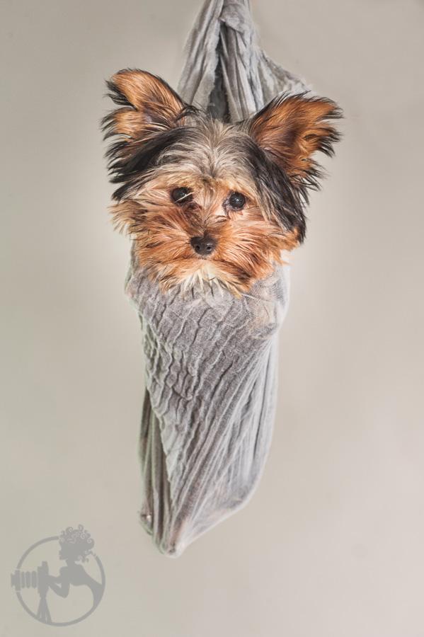 Yorkshire-Terrier-Dog-Melissa-Laggis-3.jpg