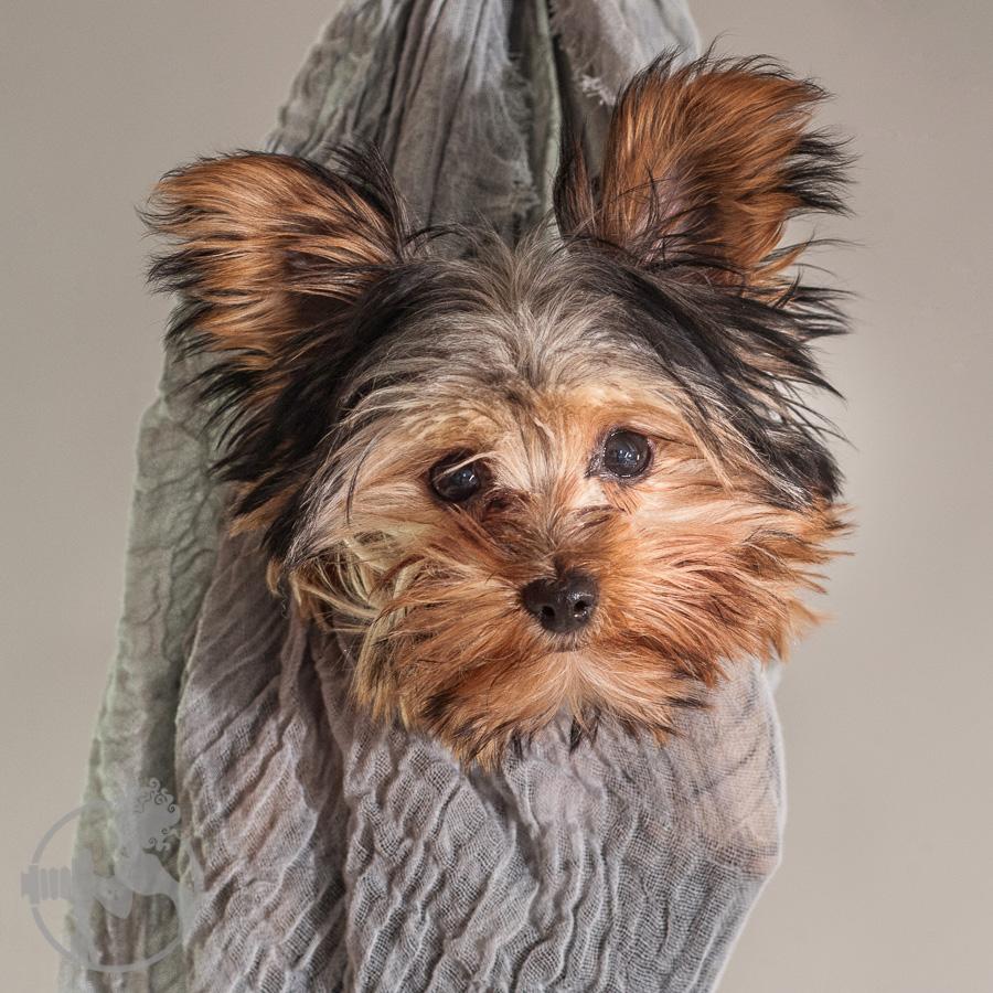 Yorkshire-Terrier-Dog-Melissa-Laggis-2.jpg