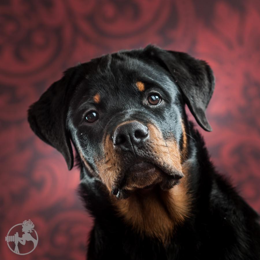 Hyden-Rottweiler-Puppy-Melissa-Laggis-Photograph-1.jpg