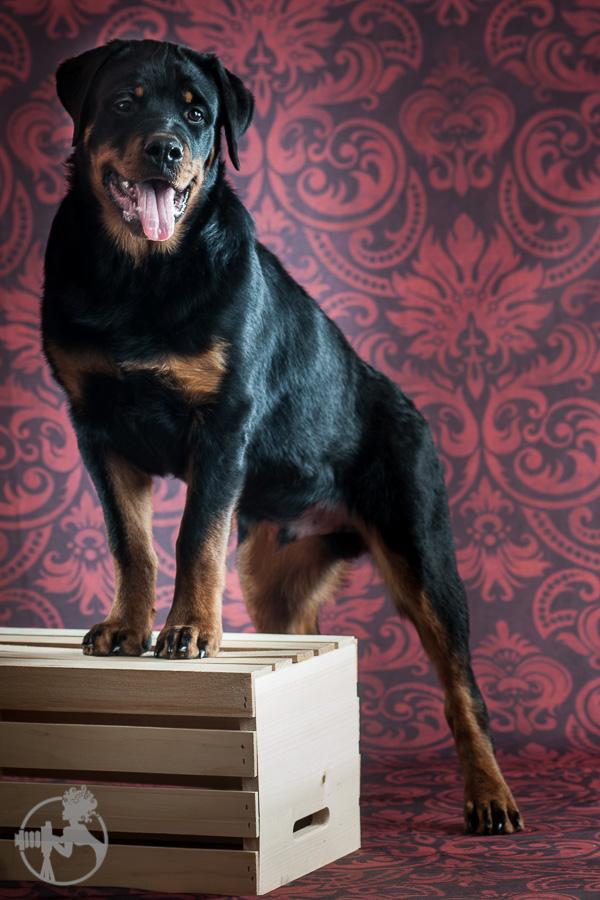 Hyden-Rottweiler-Puppy-Melissa-Laggis-Photograph-2.jpg