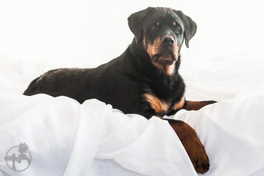 Hyden-Rottweiler-Puppy-Melissa-Laggis-Photograph-3.jpg