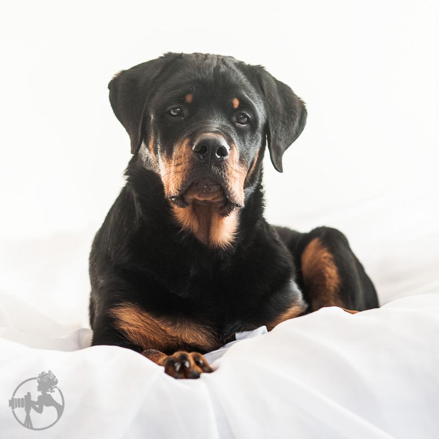Hyden-Rottweiler-Puppy-Melissa-Laggis-Photograph-4.jpg
