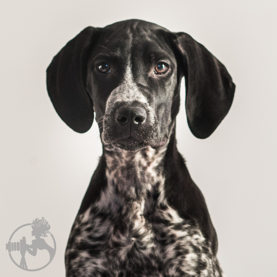 German-Shorthaired-Pointer-Dog-Melissa-Laggis-2.jpg