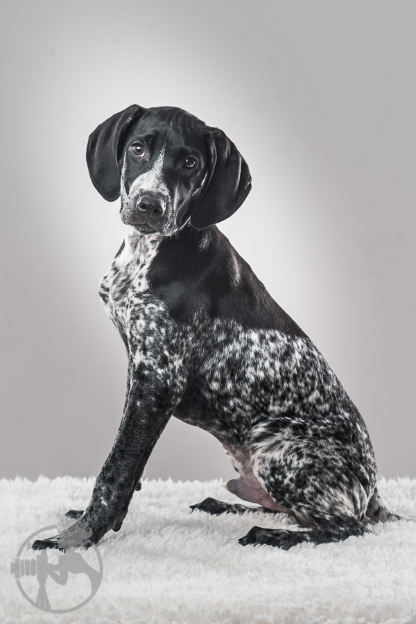 German-Shorthaired-Pointer-Dog-Melissa-Laggis-3.jpg