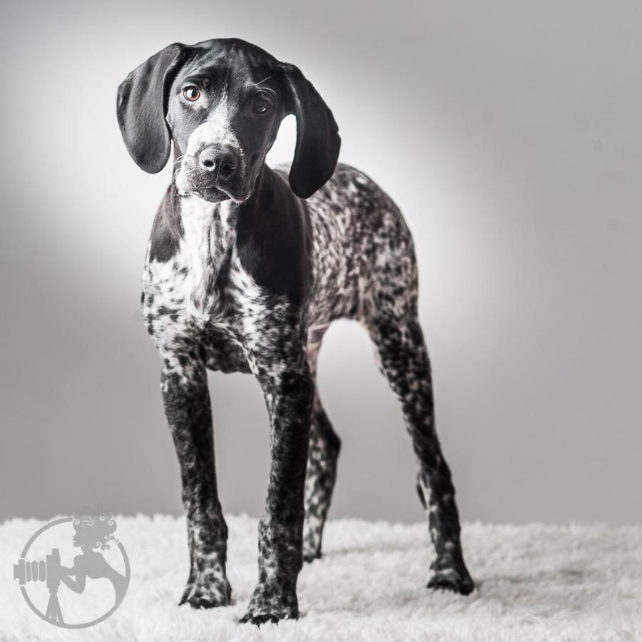 German-Shorthaired-Pointer-Dog-Melissa-Laggis-4.jpg