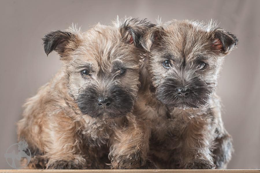 Tolson-Cairn-Terrier-Puppy-Melissa-Laggis-Photograph-1.jpg