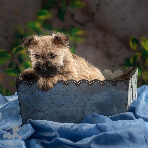 Cairn Terrier Puppies!