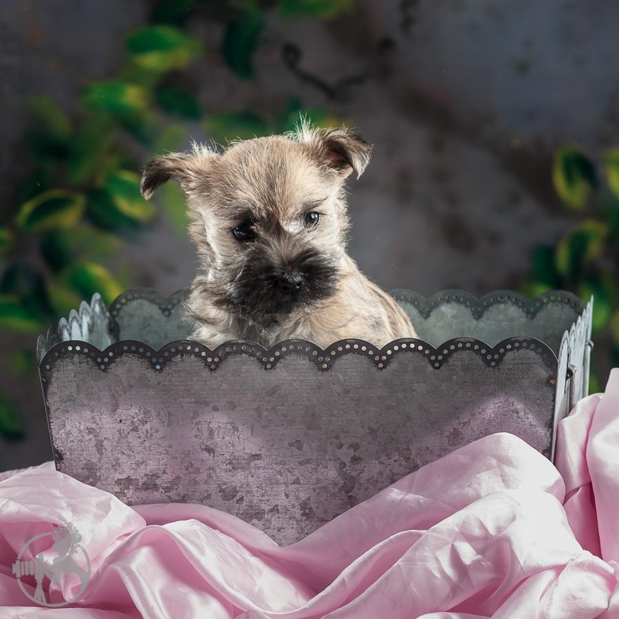 Tolson-Cairn-Terrier-Puppy-Melissa-Laggis-Photograph-3.jpg