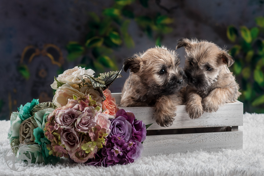Tolson-Cairn-Terrier-Puppy-Melissa-Laggis-Photograph-4.jpg