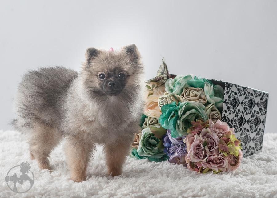 Sommer-Pomeranian-Pom-Puppy-Melissa-Laggis-Photograph-1.jpg