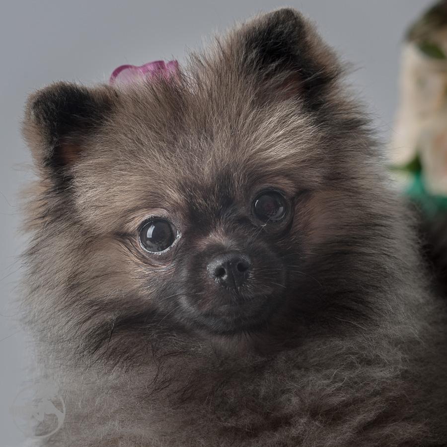 Sommer-Pomeranian-Pom-Puppy-Melissa-Laggis-Photograph-2.jpg