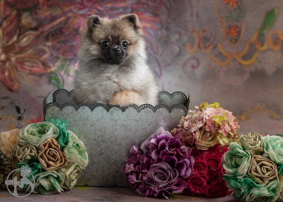 Sommer-Pomeranian-Pom-Puppy-Melissa-Laggis-Photograph-3.jpg