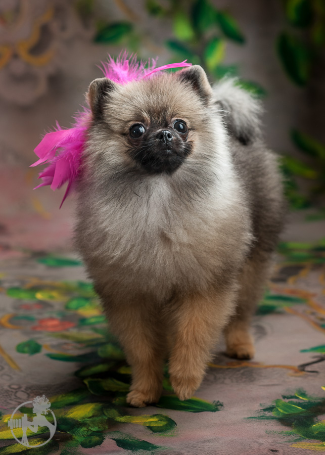 Sommer-Pomeranian-Pom-Puppy-Melissa-Laggis-Photograph-4.jpg