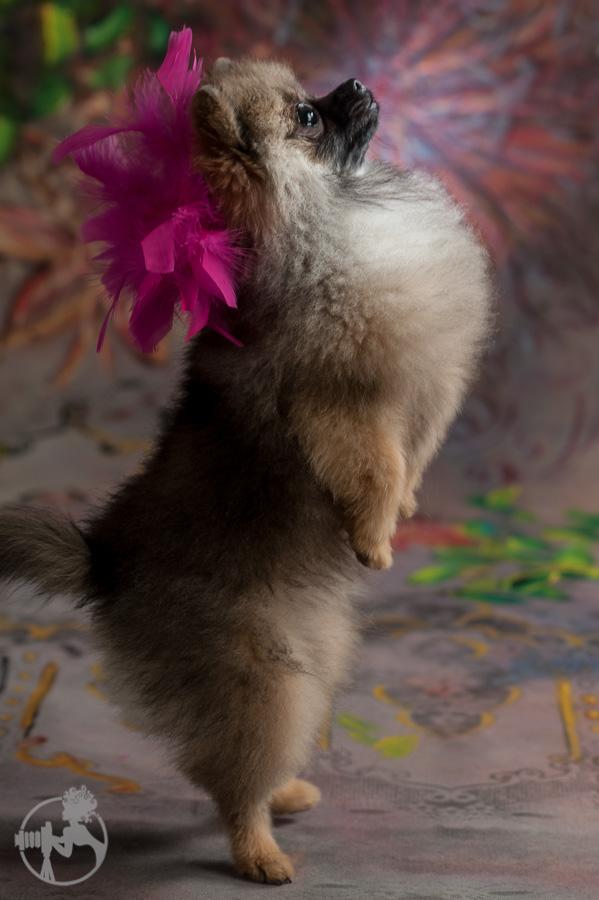 Sommer-Pomeranian-Pom-Puppy-Melissa-Laggis-Photograph-5.jpg