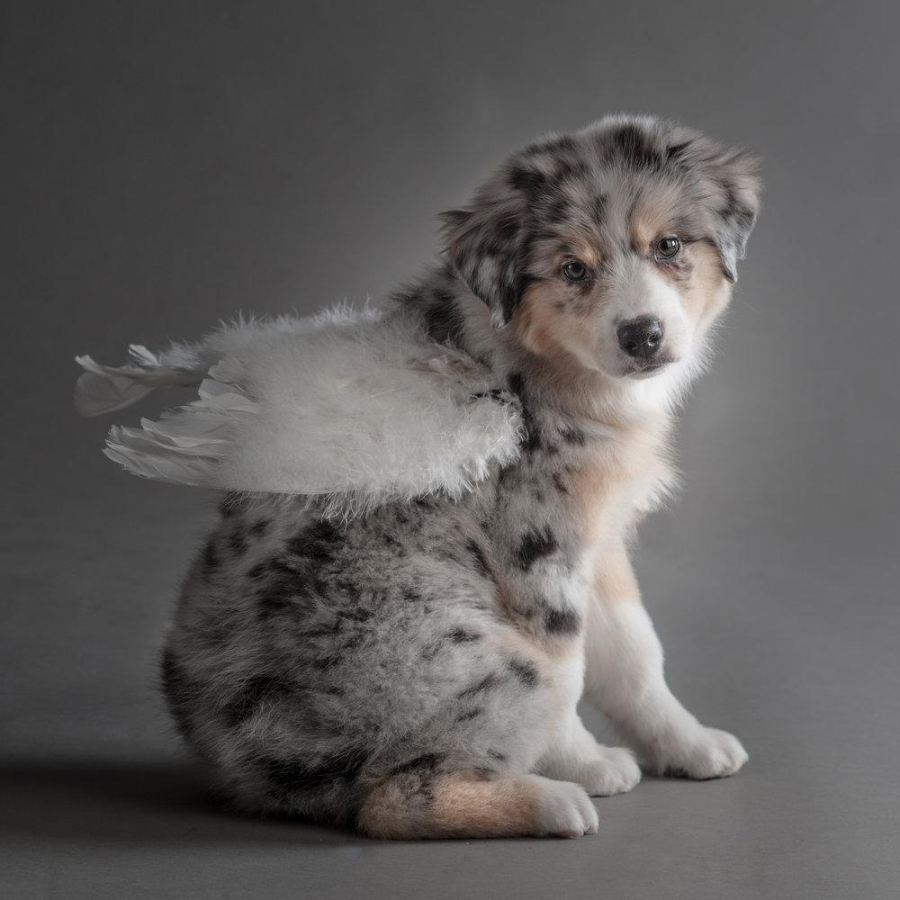 Dowling-L-Australian-Shepherd-Puppy-13.jpg