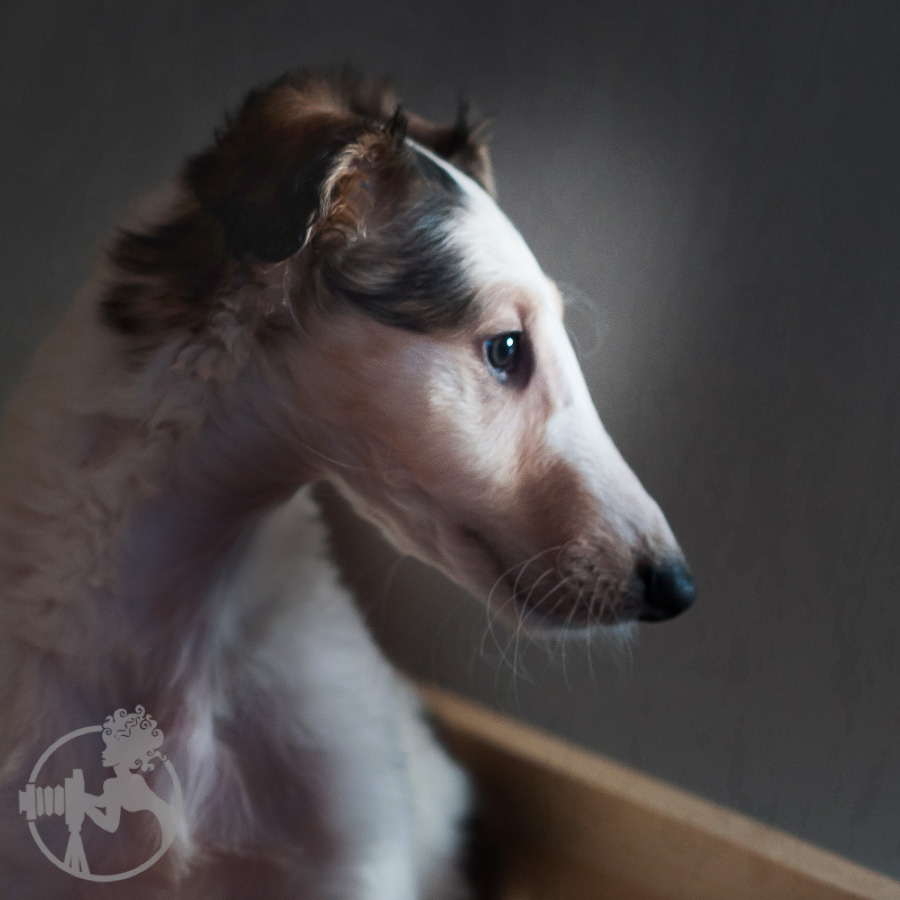 Borzoi-Russian-Sight-Hound-Dog-Melissa-Laggis-1.jpg