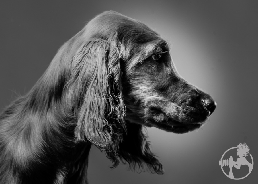 A black and white portrait of the lovely Irish Setter puppy