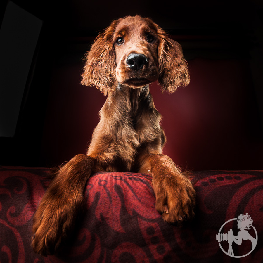 Brandy, the Irish Setter, is such a clown in the studio!
