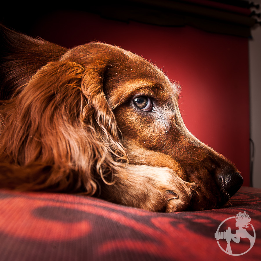 A portrait favorite of mine from the Irish Setter dog session