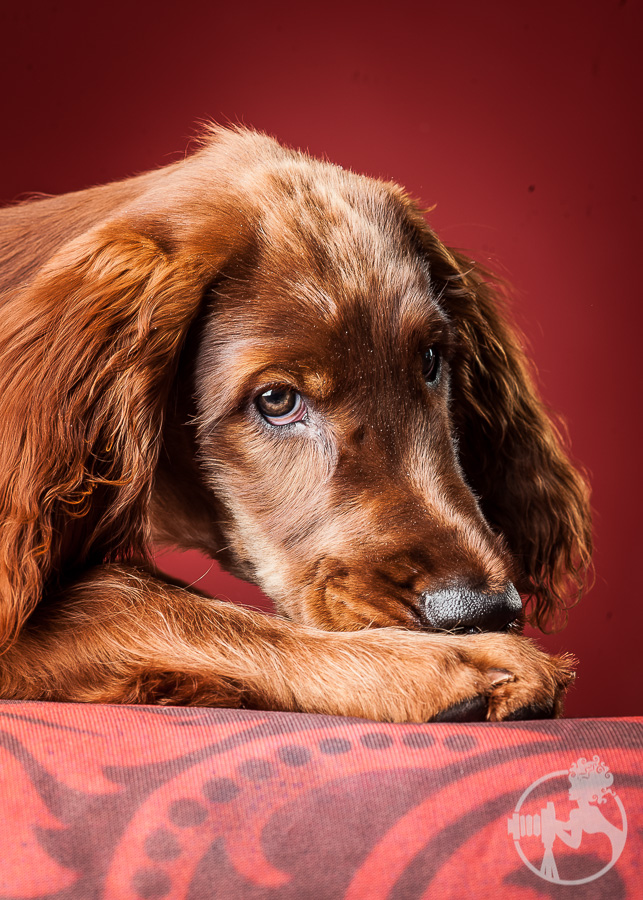 Cute little Irish Setter puppy!