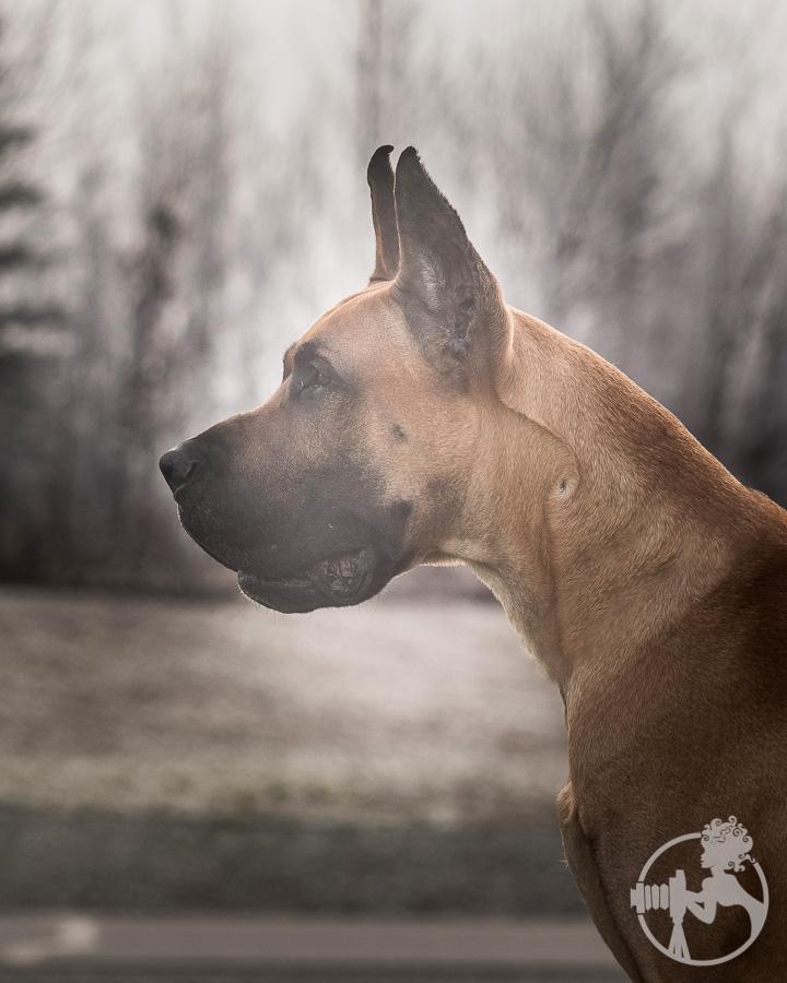 Gorgeous Great Dane
