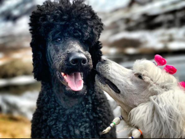 Two of my Poodles enjoying some play time