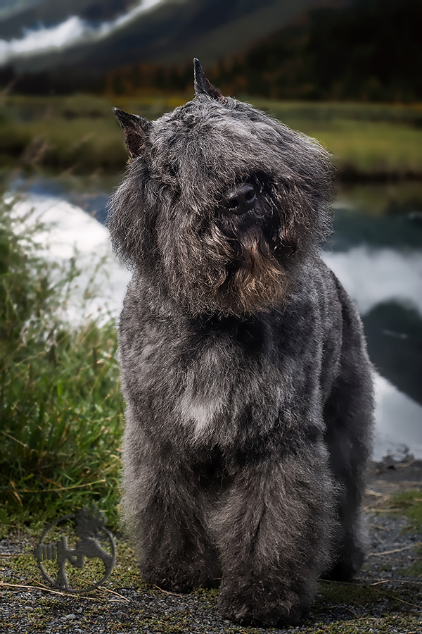 You can't see his eyes, but this Bouvier's expression says it all!