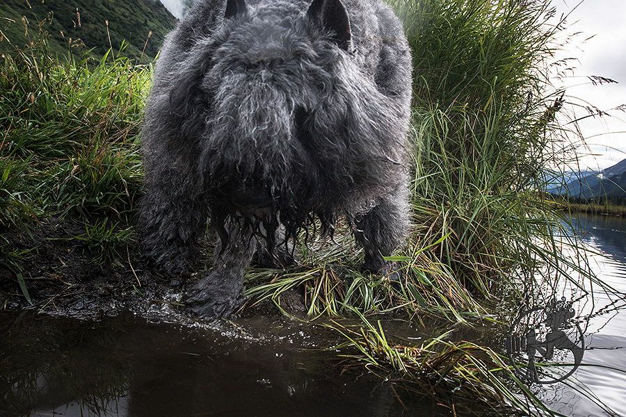 Big Bouvier des Flandres checking out the water.