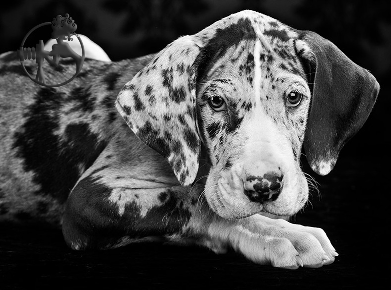 This Great Dane is just as cute in black and white images.