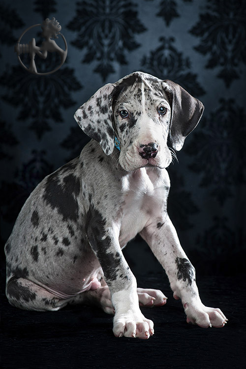 Great Dane puppy legs are awkward, lanky, and downright adorable!