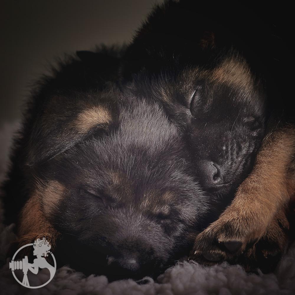 Two German Shepherd puppies snuggled up!