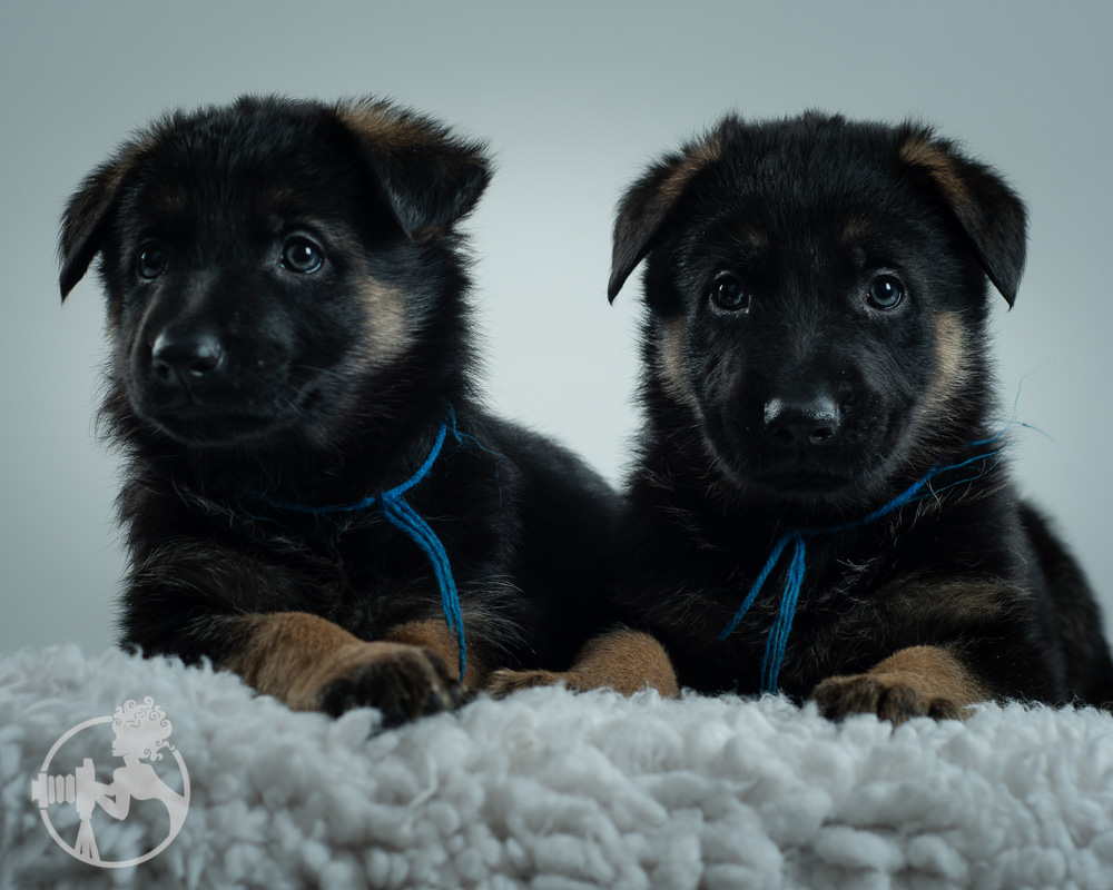 German-Shepherd-Puppy-Dog-Melissa-Laggis-Copyright-8.jpg