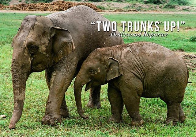 """Come see the film that @hollywoodreporter gave """"Two Trunks Up!"""" playing 5/4-5/10 at Laemmle Music Hall. Visit loveandbananas.com to find more screenings or host one near you! 💖🐘🍌✨"""