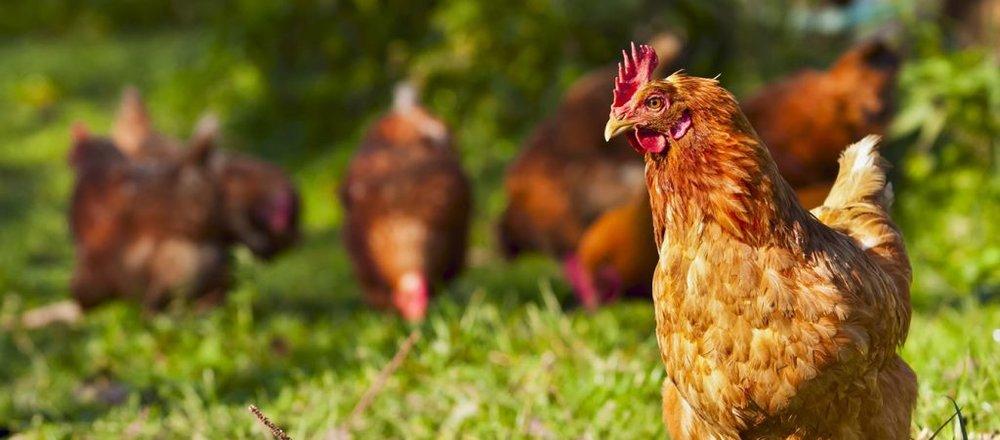 red-chickens-1024x451.jpg