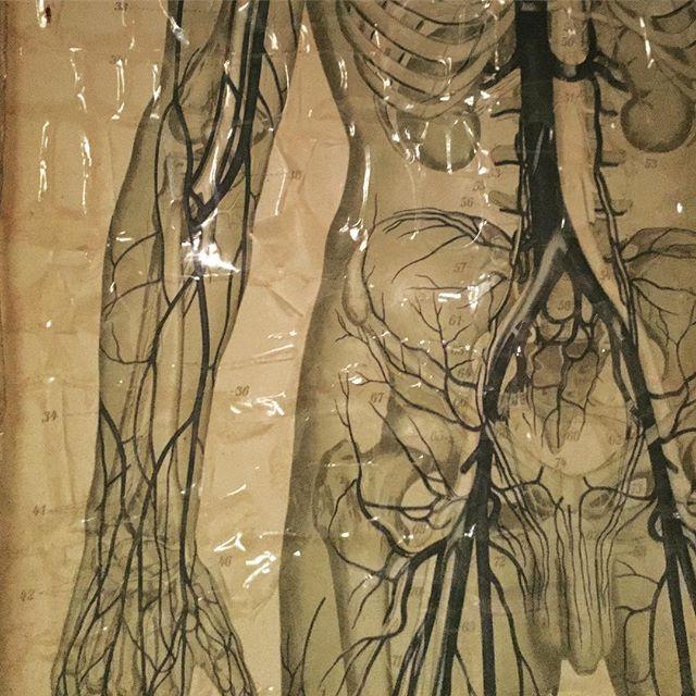 #anatomy #hospitalheritage #museum #hospitalmuseum #surgeryhistory #aorta #testicular #artery #medicalart #medicalscience #archaic